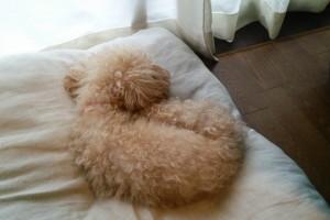 寝るトイプードル