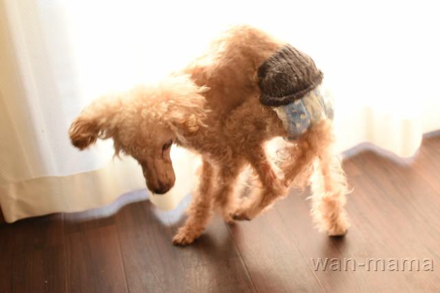歩き回る老犬