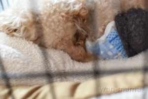 ケージで眠る老犬