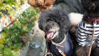 犬といちご狩り