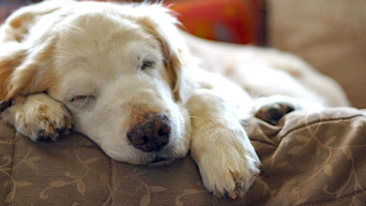 老犬の免疫力とサプリメント
